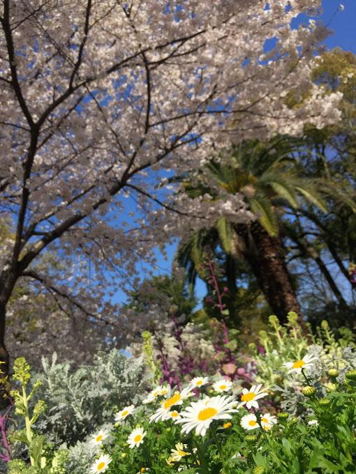 東小橋公園 桜