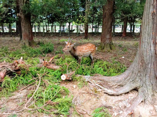 奈良公園 しか