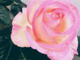 5月はバラの季節ですね(^^)