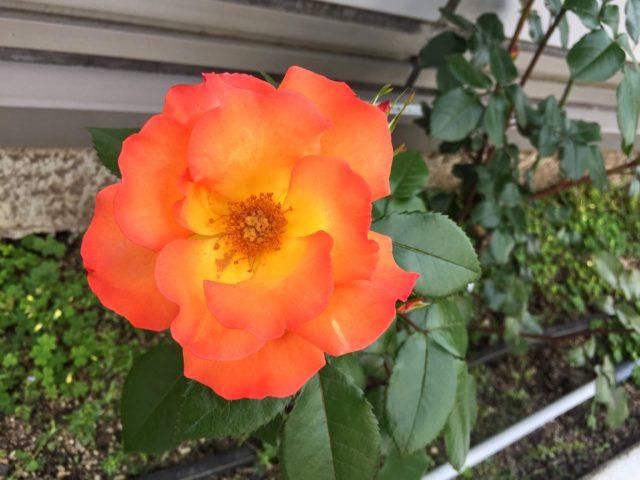バラ 写真 オレンジ