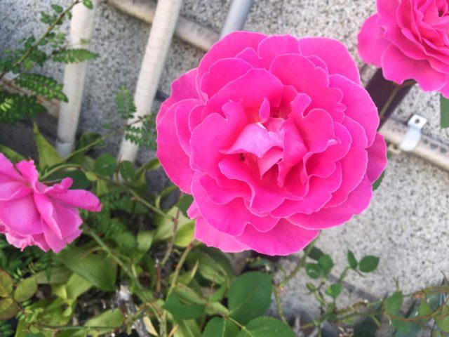 バラ 写真 ピンク